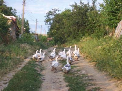 стадо гъски