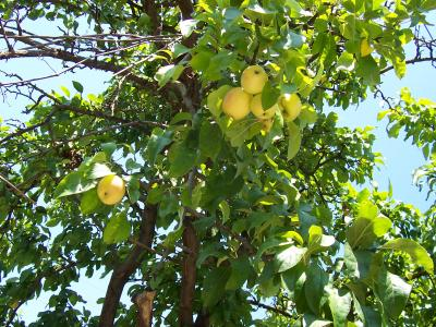 ябълки петровки