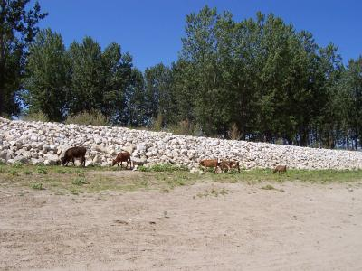 стадо крави на плаж